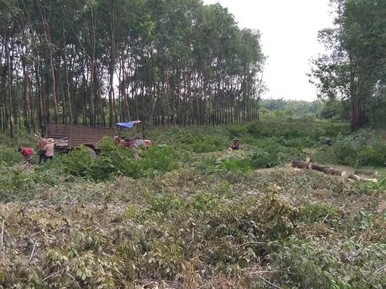 Thanh lý vườn cây cao su để xây dựng Khu tái định cư Lộc An - Bình Sơn